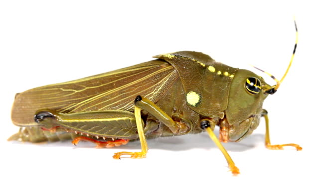 dumpy amazonas heuschrecke klappen wings - feldheuschrecken stock-videos und b-roll-filmmaterial