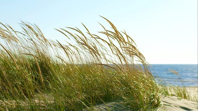 모래 언덕 위에서 잔디 - 풀 벼과 스톡 비디오 및 b-롤 화면