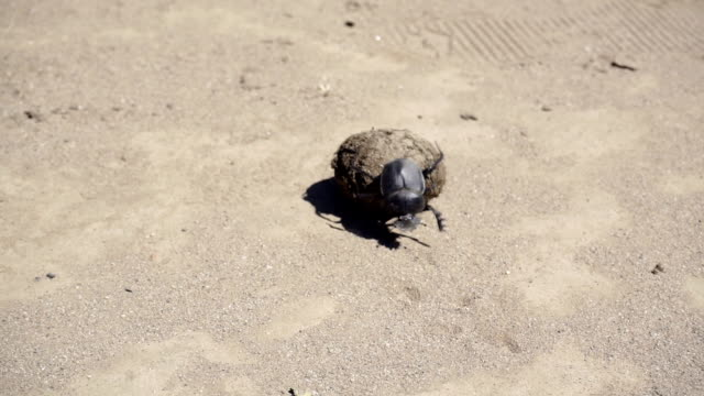HD: Dung Beetle and it's Poo video