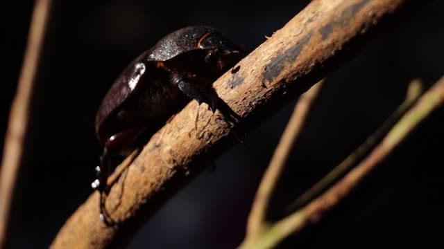Dung Beetle Clings to a Twig video