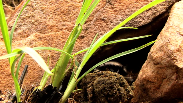 Dung Beetle falls
