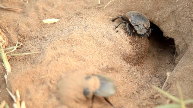 halbkugeliger käfer - käfer stock-videos und b-roll-filmmaterial