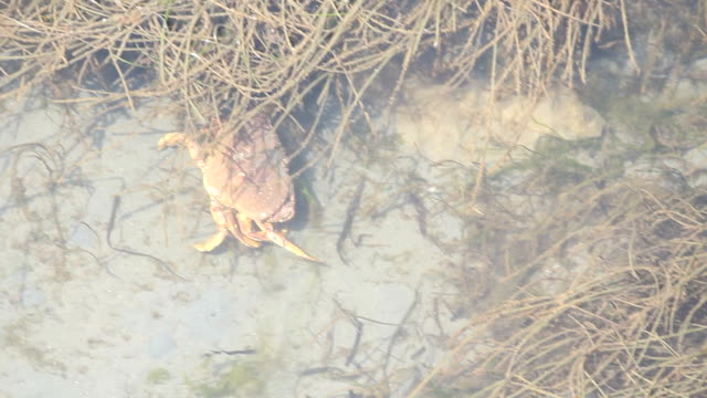 Dungeness Crab in Shallow Water video