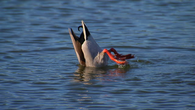 гонке утка (hd 1080/24p - утка водоплавающая птица стоковые видео и кадры b-roll