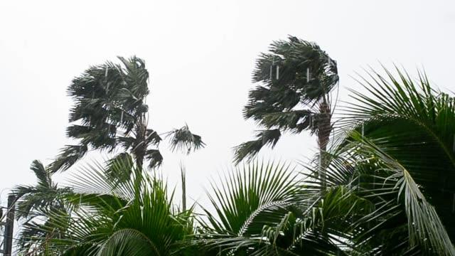 duo palm tree stryk i depression storm och skurkroll regnar i hd slowmotion. - hd format bildbanksvideor och videomaterial från bakom kulisserna