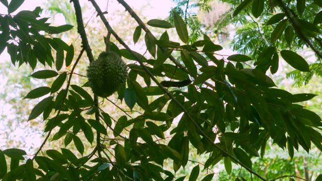 Durian Fruit On Tree