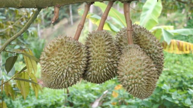 durian monthong garden in thailand. - zagadnienia filmów i materiałów b-roll