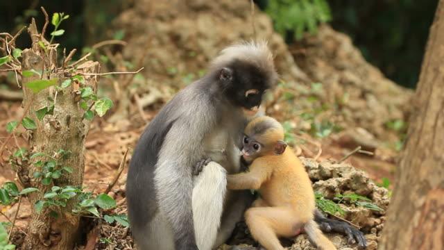 Dusky Leaf Monkey breast-feeding video