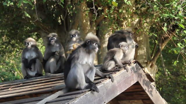 Dusky leaf monkey family. video