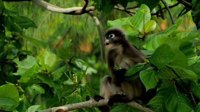 Dusky Leaf Monkey on a tree close-up video