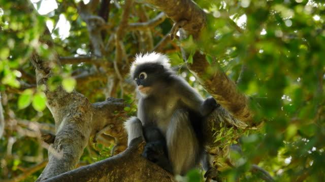 Dusky Leaf Monkey on tree. video