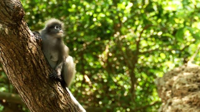dusky blad apa på träd. - primat bildbanksvideor och videomaterial från bakom kulisserna