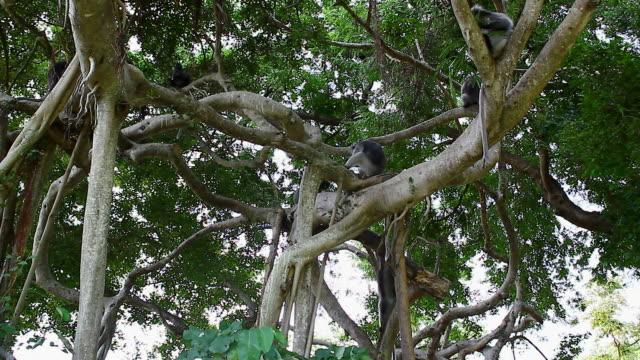 dusky leaf monkey video