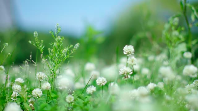 Dutch clover fields swing in wind Dutch clover fields swing in wind. Relaxing scene for spring and summer. shamrock stock videos & royalty-free footage