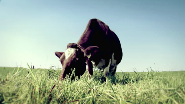 Dutch Cow video