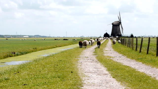 Dutch wind mill and lambs in distance video