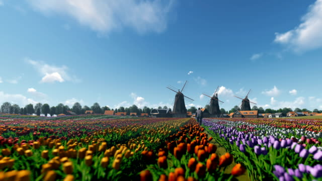 Dutch windmills and man ridding bike on a field with tulips against beautiful sky, drone flight 4K