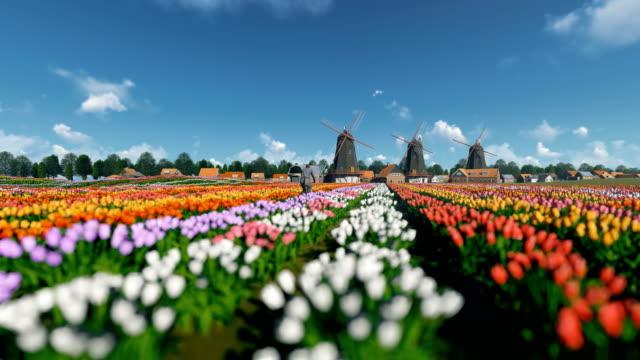 holländska väderkvarnar och man befria cykel på ett fält med tulpaner mot vacker himmel, 4k - tulpan bildbanksvideor och videomaterial från bakom kulisserna