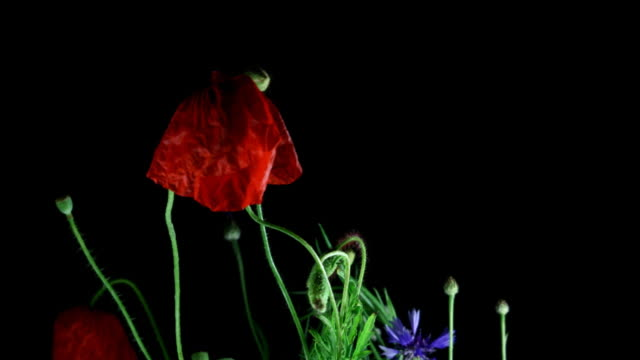 Dying poppy Poppy flowers dying in a time lapse video death stock videos & royalty-free footage