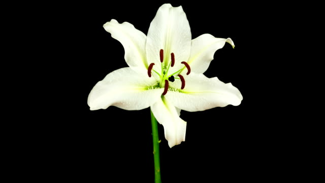 Dying White Lily - Time Lapse video