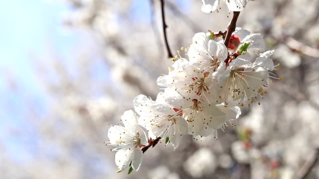 Dynamic scene about branch of a blooming apricot tree in spring light breeze on blue sky background video