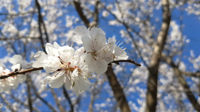 Dynamic scene about branch of a blooming apricot tree on blue sky background video