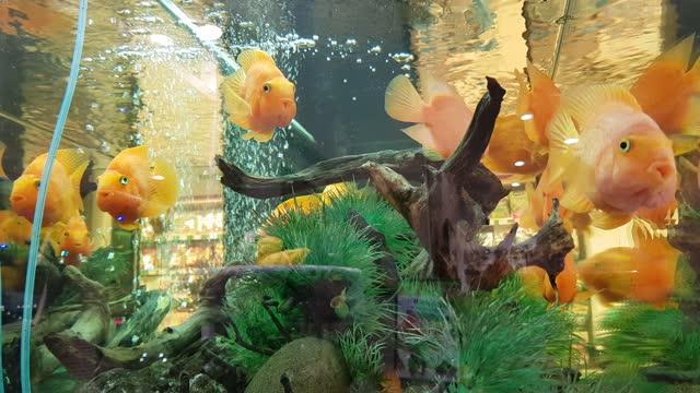dynamisches schwimmen großer gelber fische im innenaquarium - sonnenbarsch stock-videos und b-roll-filmmaterial