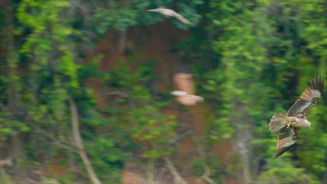 ea-eagle,The red eagle's foraging ea-eagle,The red eagle's foraging in Thailand bird of prey stock videos & royalty-free footage