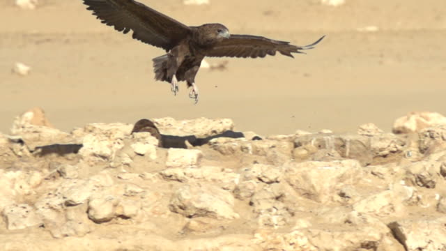 Eagle, Bird of Prey, Flying in SlowMotion A young Bateleur-Eagle flying and lands at a waterhole in the African Bushveld, Shot in SlowMotion with 400fps eagle bird stock videos & royalty-free footage