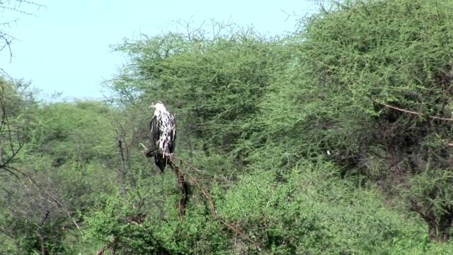 eagle bird on tree america savannah usa - alaska stato usa video stock e b–roll