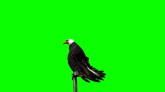 eagle fly landing -  3 different views  - green screen eagle fly landing -  3 different views  - green screen hawk bird stock videos & royalty-free footage