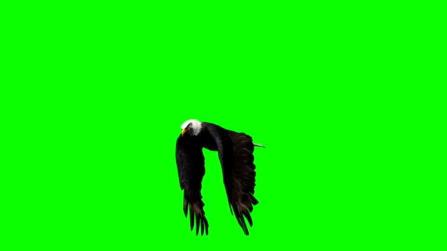 eagle flying - 2 diffrent views - green screen eagle flying - 2 diffrent views - green screen hawk bird stock videos & royalty-free footage