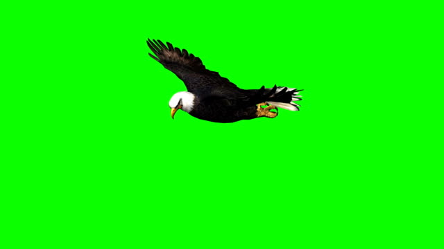 eagle gliding  3 - green screen video