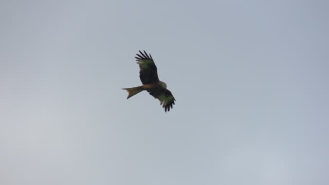 Eagle hunting in forest Nature views in Germany's Black Forest region bird of prey stock videos & royalty-free footage