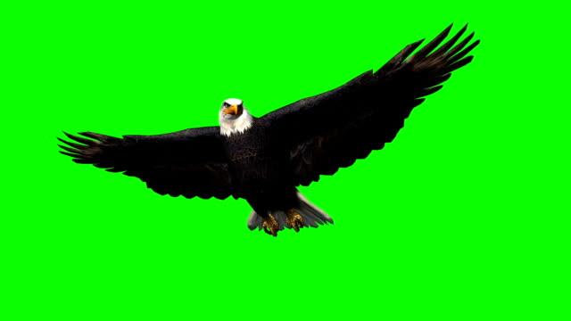 eagle in gliding 1 - green screen eagle in gliding 1 - green screen hawk bird stock videos & royalty-free footage