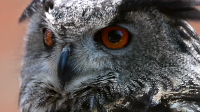 eagle owl turns head video