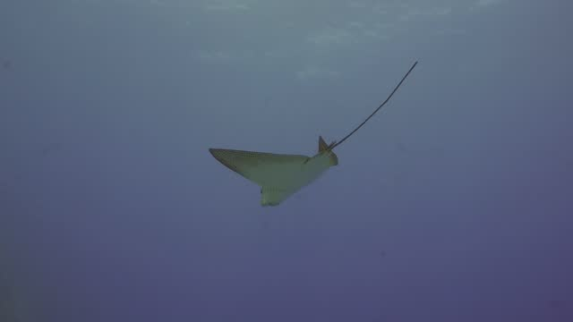 vídeos de stock e filmes b-roll de eagle ray swimming by in the blue in maldives - uge
