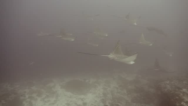 орел луч плавание в синем - морская рыба стоковые видео и кадры b-roll