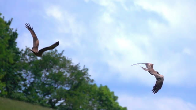 Eagle Red kite flight Eagle Red kite flight  slow motion vulture stock videos & royalty-free footage