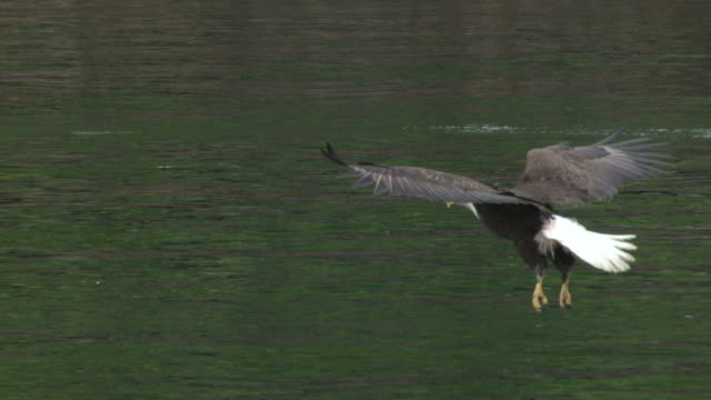 eagle swooping for fish - hunting stock videos and b-roll footage