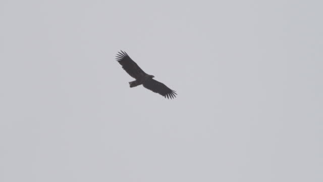 Eagle Super slow motion Full HD - White tailed eagle, Haliaetus albicilla. eagle bird stock videos & royalty-free footage