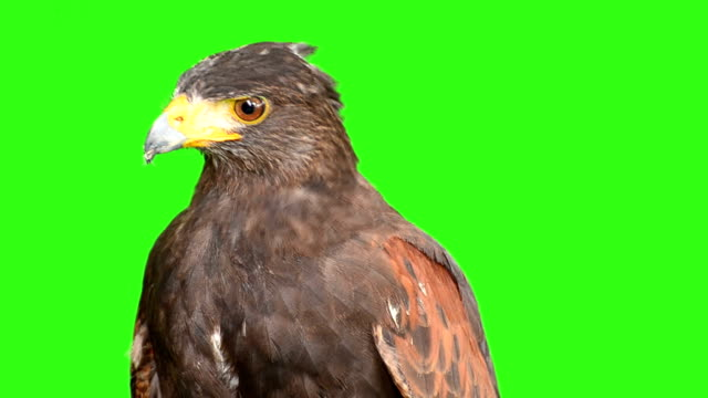 stockvideo's en b-roll-footage met eagle with green screen background - arend