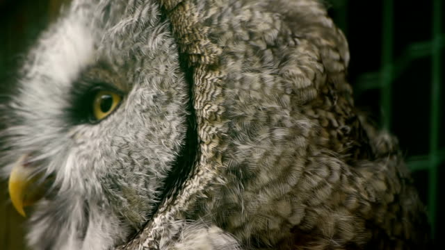 HD - Eagle-owl video