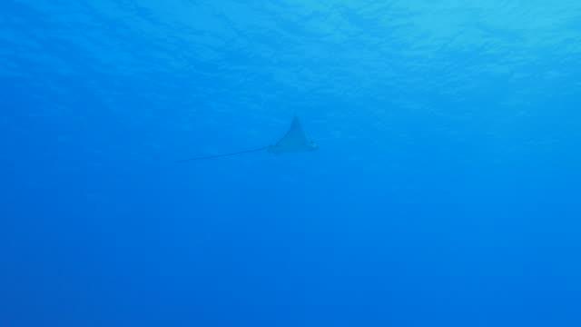 vídeos y material grabado en eventos de stock de eagleray nadar bajo la superficie del mar - sea life park