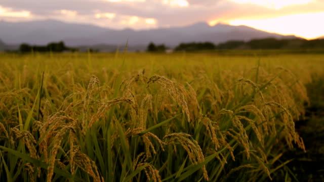 耳の米 - 稲点の映像素材/bロール
