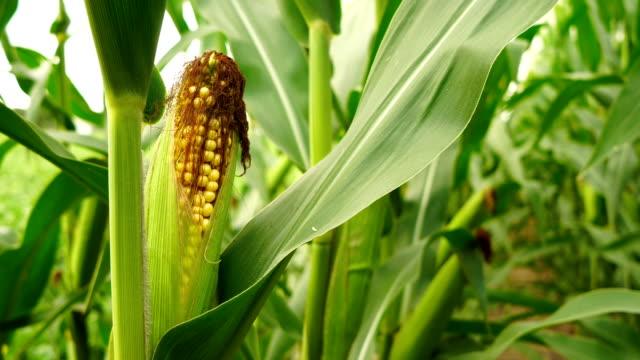 öra sockermajs gård fältet ripe skörd färska livsmedel - skalhylsa bildbanksvideor och videomaterial från bakom kulisserna