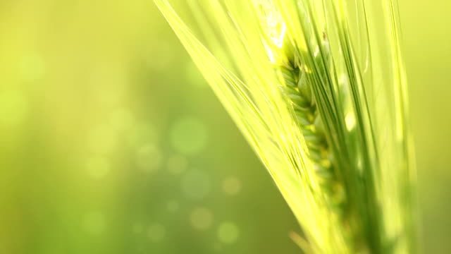 ear of wheat on an abstract background - çavdar stok videoları ve detay görüntü çekimi