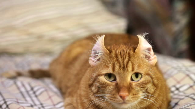 Eared Ginger Cat Ginger Cat Funny Unbend Ears. Looped Footage ear stock videos & royalty-free footage