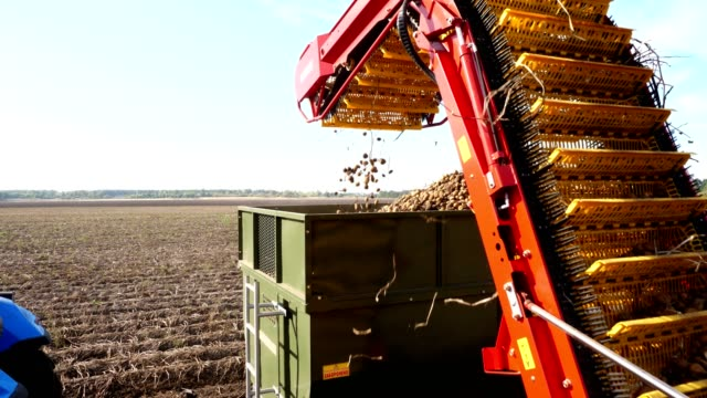 early autumn. harvesting potatoes on an agricultural field. a special tractor digs up potatoes and pours it into the back of a truck. potato tubers move on a special machine tape - vídeo