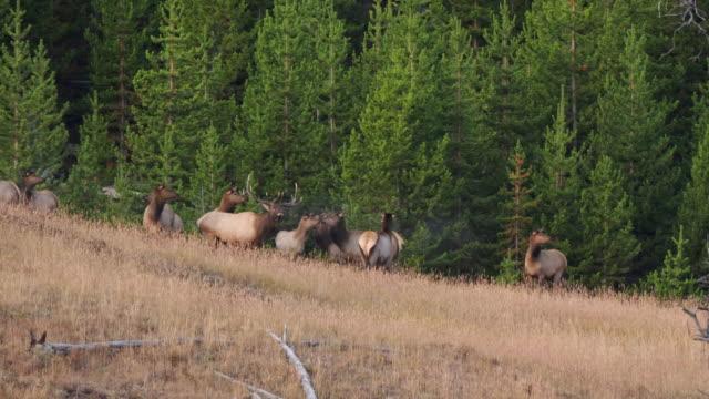 early autumn shot of an elk bull bugling at yellowstone - jeleniowate filmów i materiałów b-roll